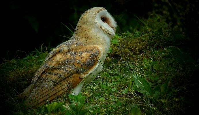 The Living Forest (369) : Barn owl