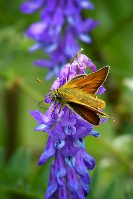 The Living Forest (374) : Small Skipper