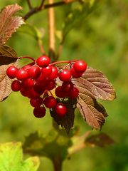 The Living Forest (384) : Guelder Rose