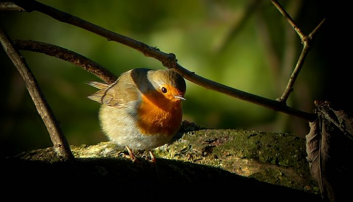 The Living Forest (391) : Robin