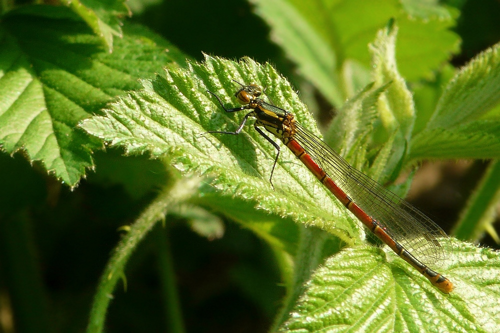 The Living Forest (43) : Large Red Damselfly (female)