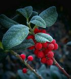 The Living Forest (439) : Holly