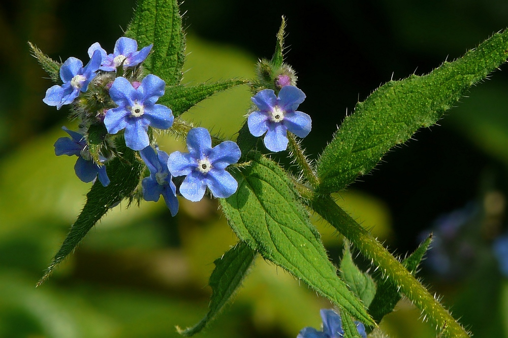 The Living Forest (46) : Forget-Me-Not