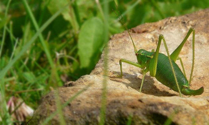 The Living Forest (6) : Long-horned Grasshopper