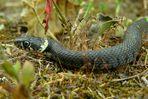 The Living Forest (64) : Grass snake