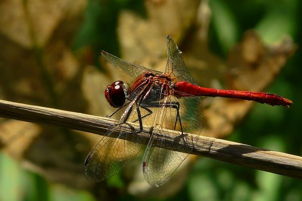The Living Forest (77) : Ruddy Darter (male)