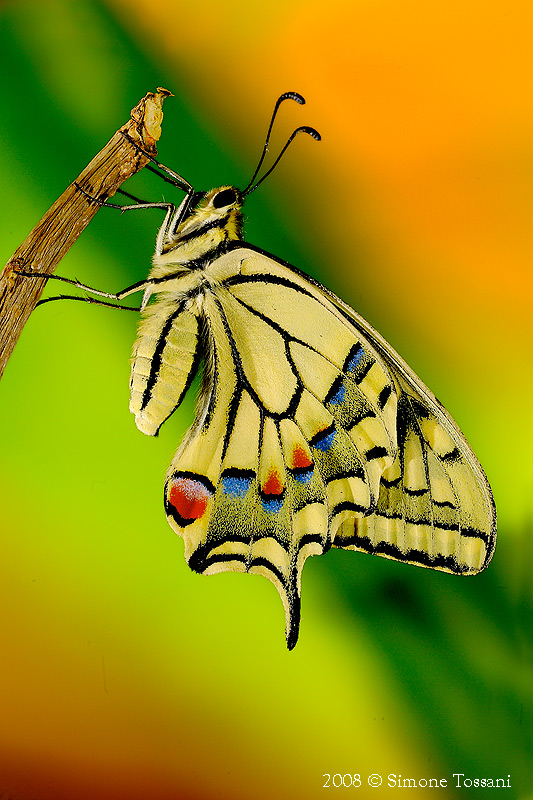 The Machaon