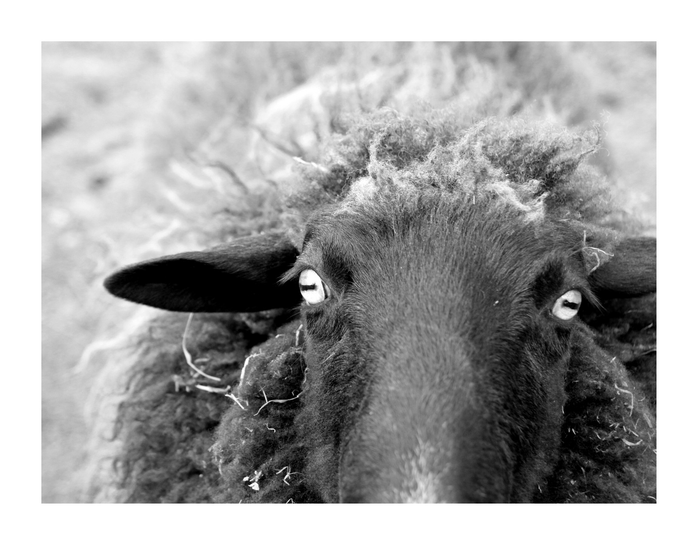 the mad sheep