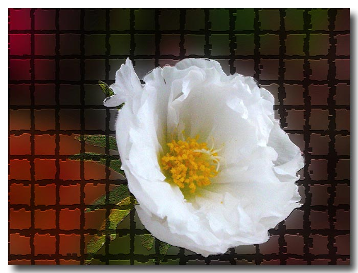 the most fragile Portulaca
