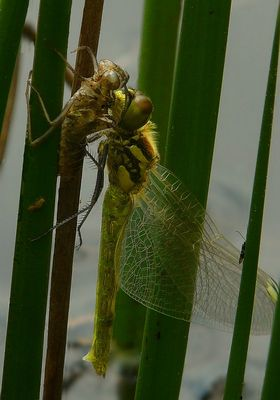 (the moulting of a) Vagrant Darter