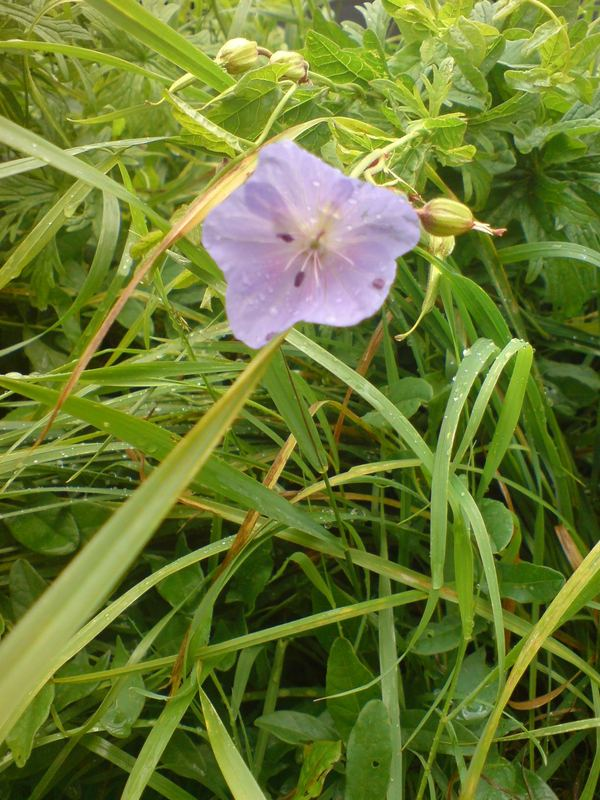 The mystic of the violet flower