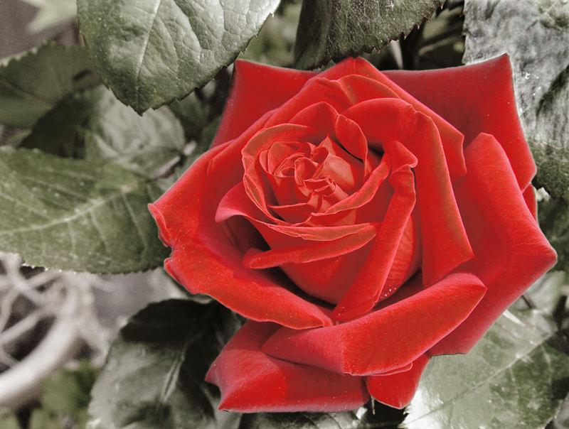 The name is rose, velvet rose