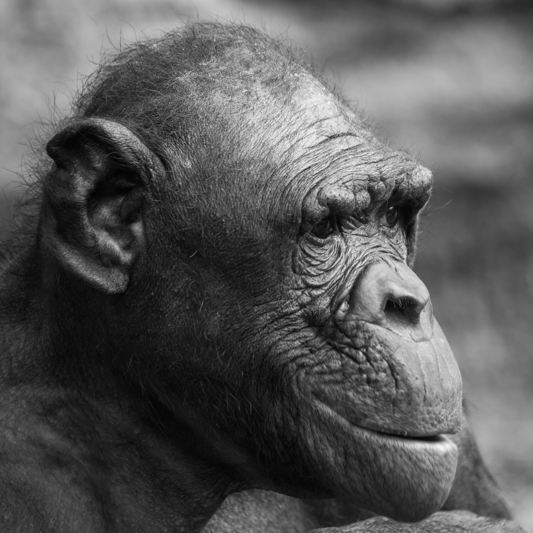 The Old Ape