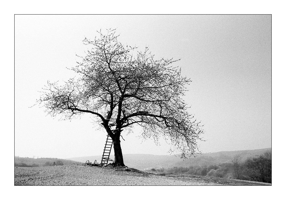 The Old Apple Tree (for Robert L. Roux)