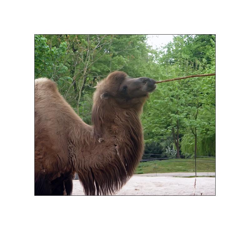 The Original Camel