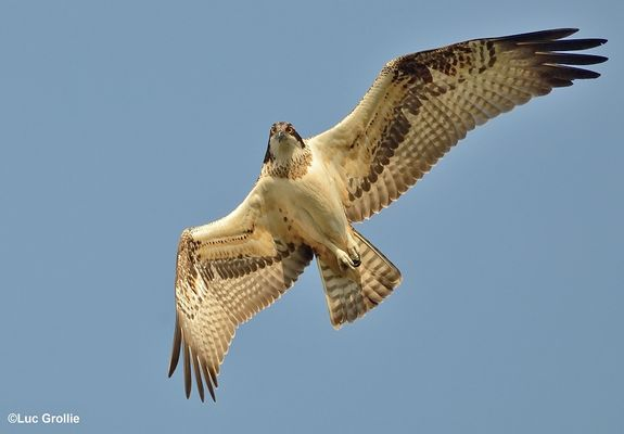 the osprey...