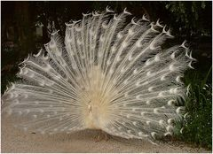 The peacock and the wind