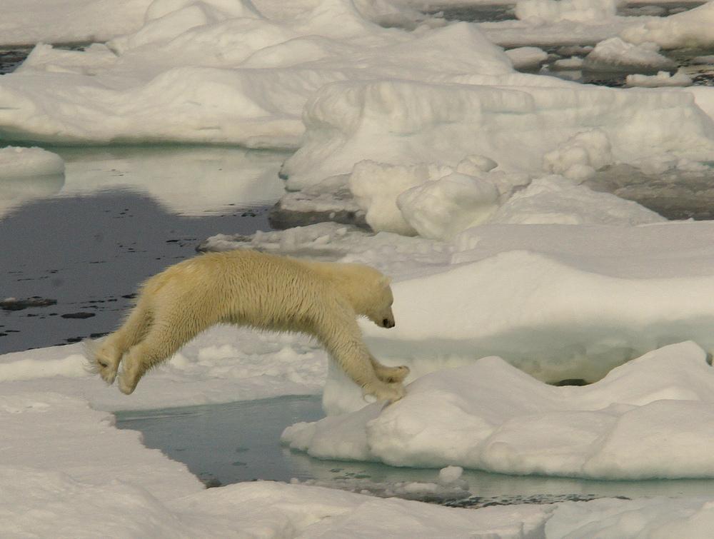 The polarbear has landed