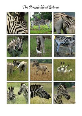 The Private life of Zebras