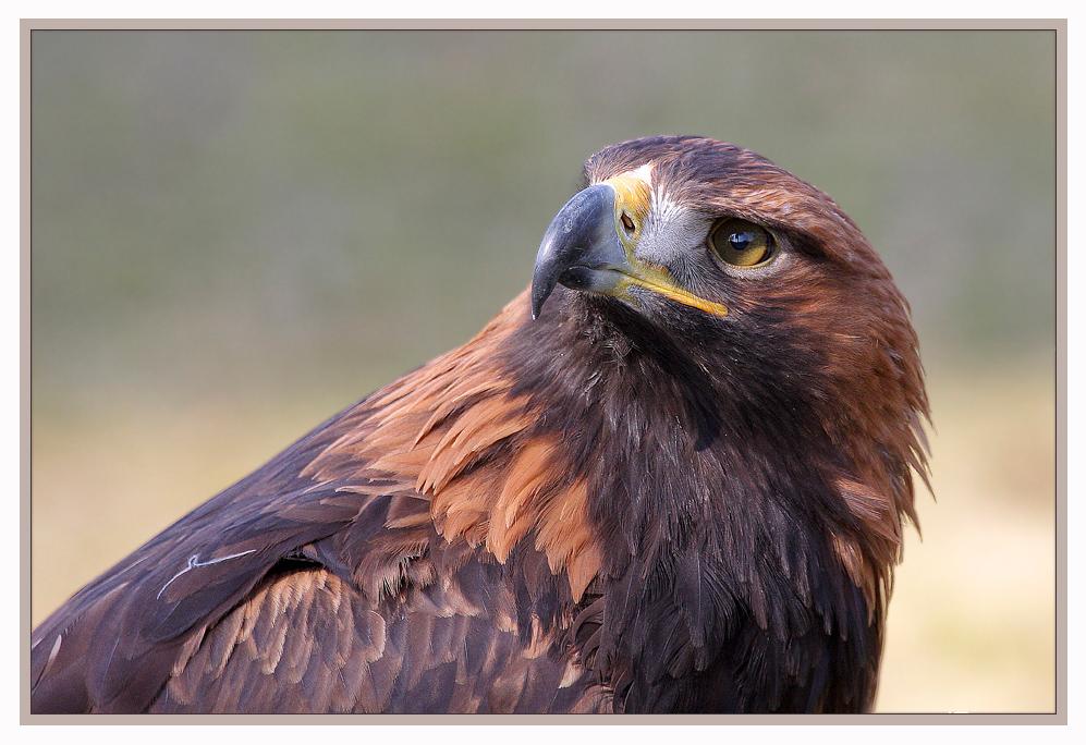 The proud Golden Eagle - Der stolze Steinadler