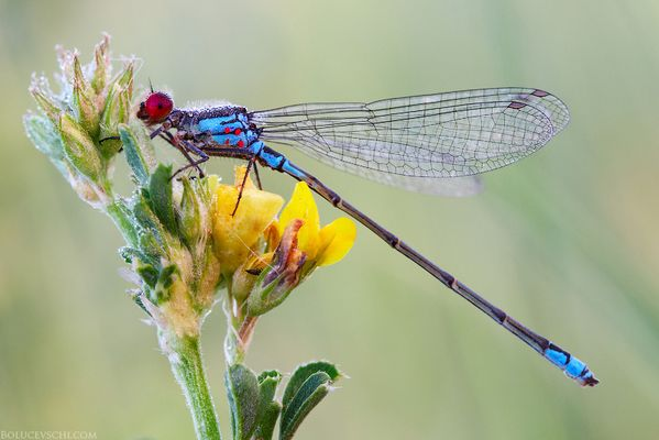 The red-eyed dragonfly