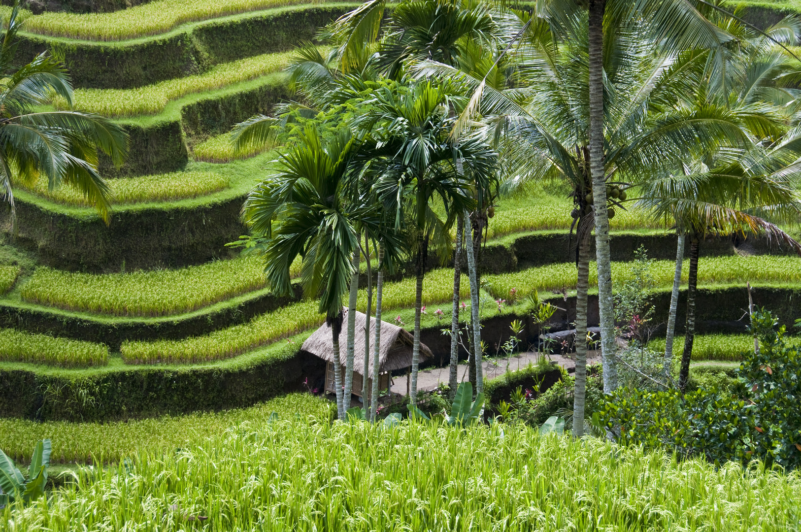 The rice terraces of Tegalalang and Ubud