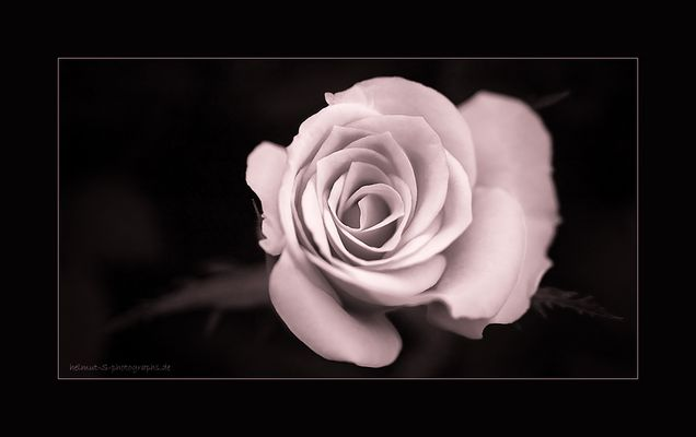 ~ the rose 2 ~