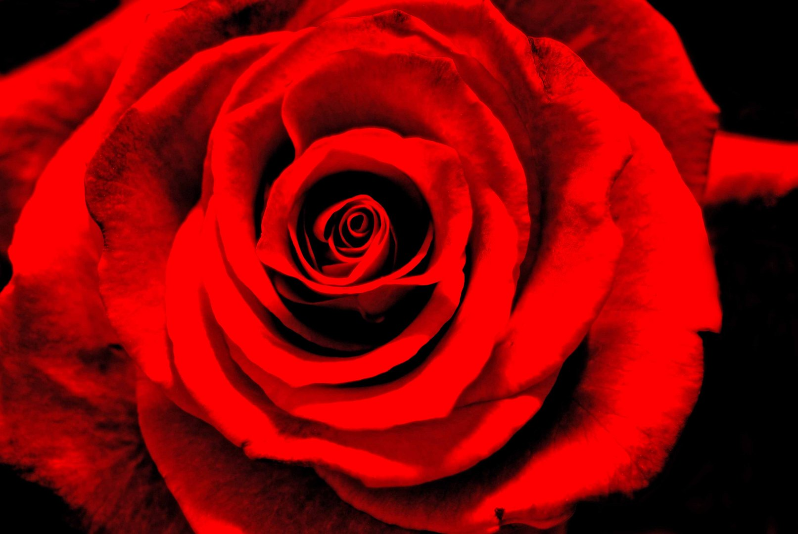The Rose.....