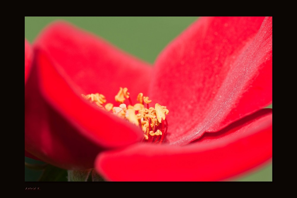 >>THE ROSE