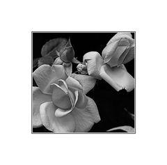 The Rose b&w