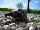 The running Turtle