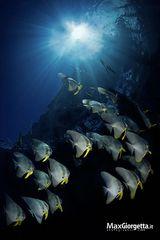 The schooling of bathfish
