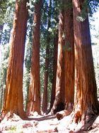 """The Senate"" - Mammutbaumgruppe im Giant Forest"