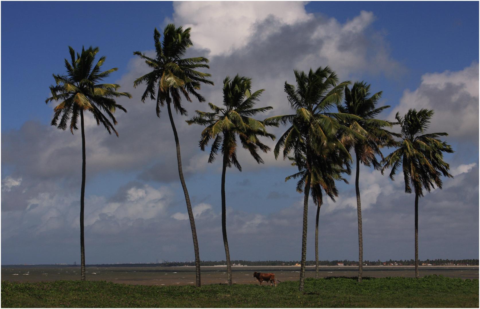 The Seven Coconuts Tree, in Lucena, Joao Pessoa, Brazil