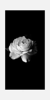 … the sign for peace: the white rose …