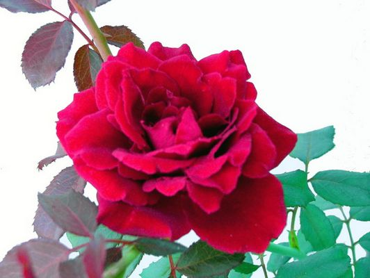 The simple complexity of the Rose