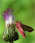 the Small Elephant Hawk - moth