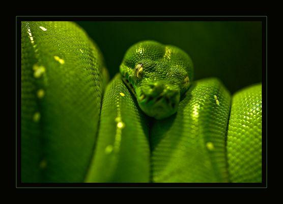 the snake V