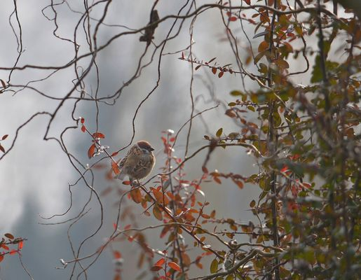THE SPARROW WEARING WINTER COAT