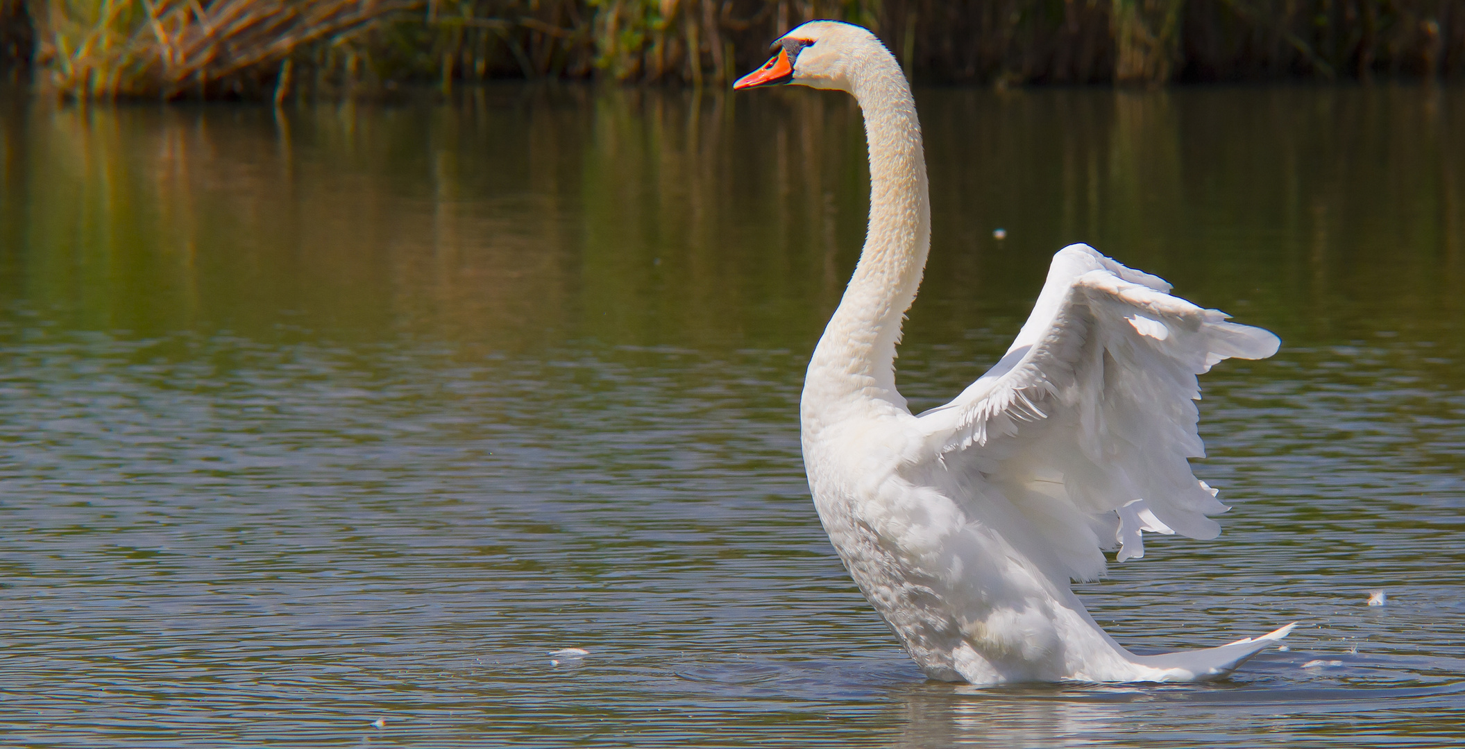 The Swan...