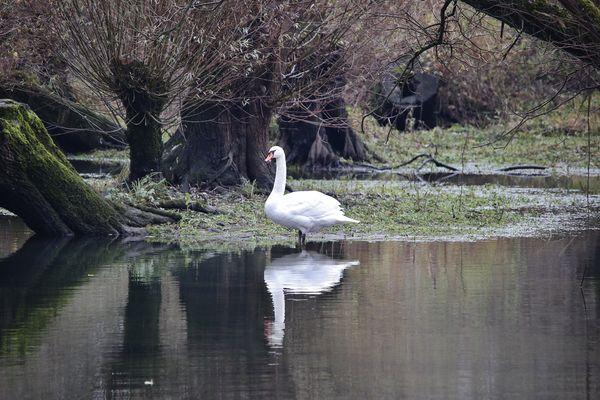 ...the swan in the Rhine floodplains...