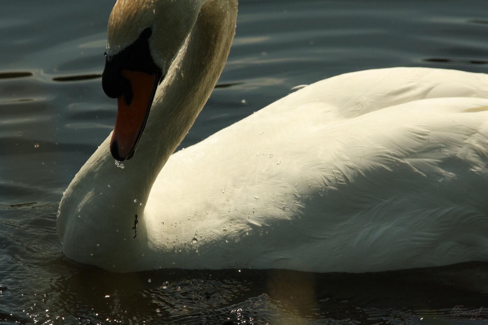 The swan_impressions II