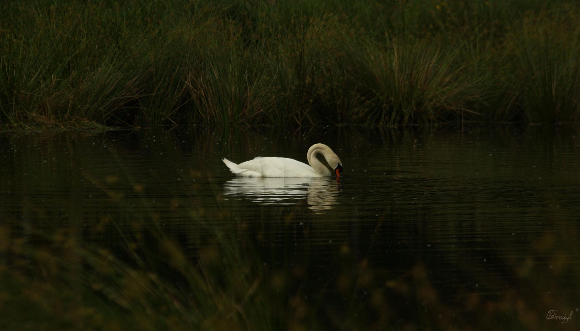 The swan_impressions IV