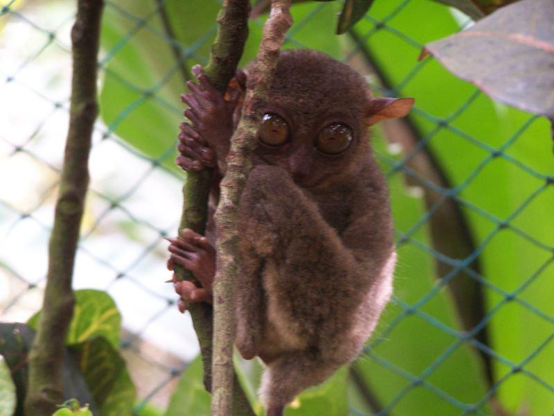 the tarsier