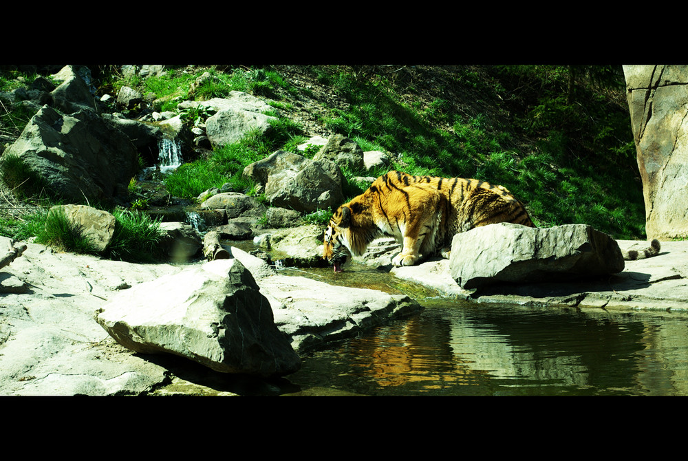 the thirsty tiger
