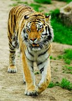 The Tiger...