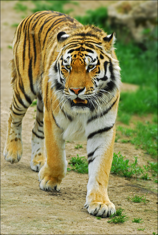 The Tiger_2