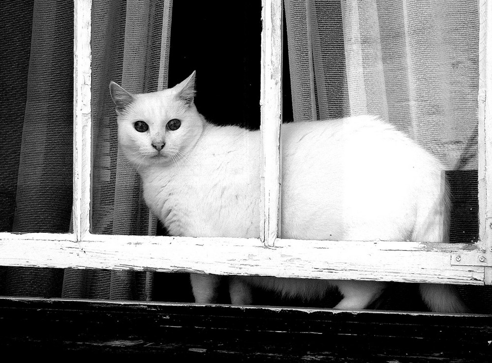 the white cat