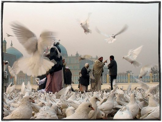 The white pigeons....