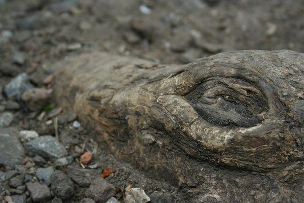 The wooden Crocodile